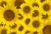 Sun flowers  background.
