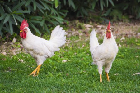 White chickens walking on green field