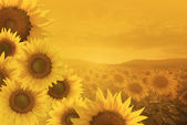 Területen a háttérben sunset virágzó napraforgó