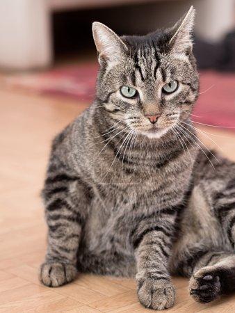 A grey striped cat plays in a flat