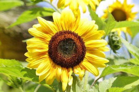 Photo pour Tournesols au soleil . - image libre de droit