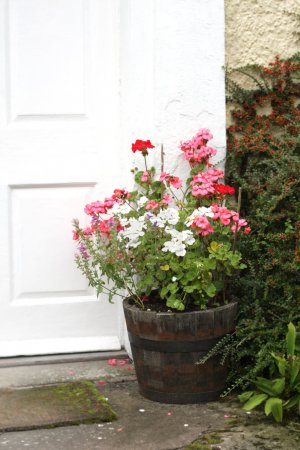 Geraniums in pot