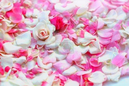 Roses petals background.