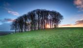 Sunrise through Beech Trees