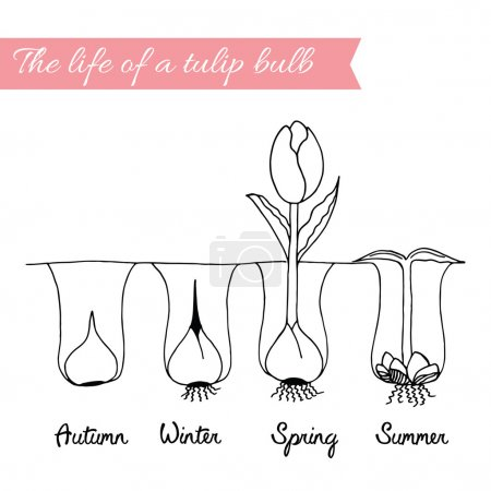 How to growing tulips.