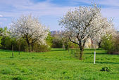Blossoming Orchard in Spring