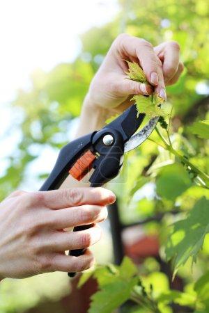 Vines, pruning vines pruning shears.