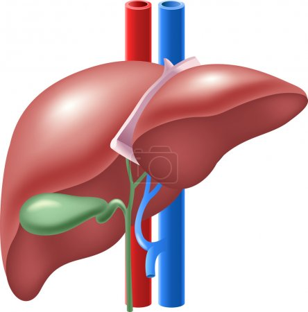 Illustration of Human Liver and Gallbladder