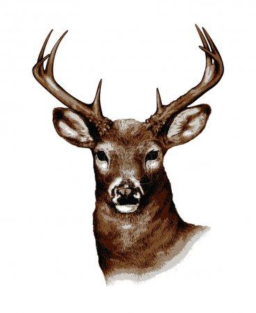 Illustration pour Cerf de Virginie illustré et converti au format vectoriel . - image libre de droit