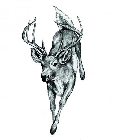 Illustration pour Cerf de Virginie illustré et converti au format vectoriel - image libre de droit