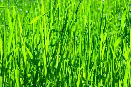 Photo pour Abstrait batskgrounds naturel avec l'herbe verte - image libre de droit