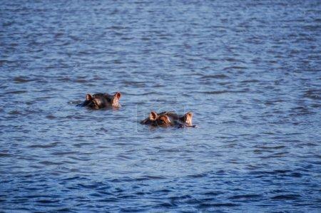 Foto de En el lago tranquilo, hay enormes dos hipopótamos acechando, son animales salvajes - Imagen libre de derechos
