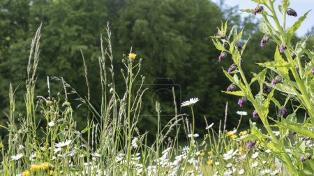 View into a meadow with grass and wildflowers like...