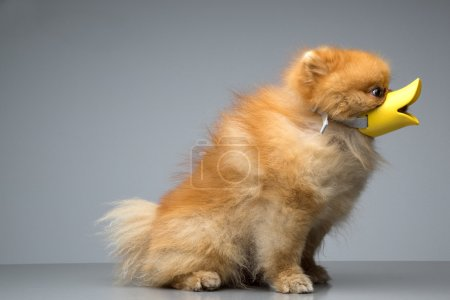 Photo for Dog Breed the Spitz dressed duck - Royalty Free Image