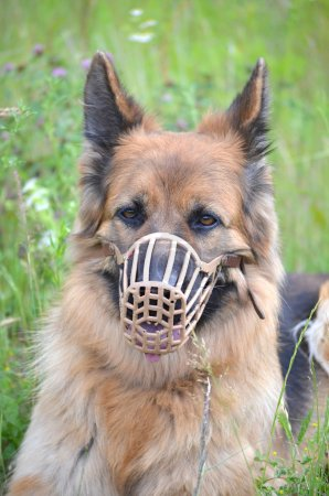 German shepherd muzzled