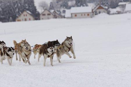 husky sled dogs running in snow