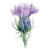 Milk Thistle Flower Watercolor Painting Vector Illustration