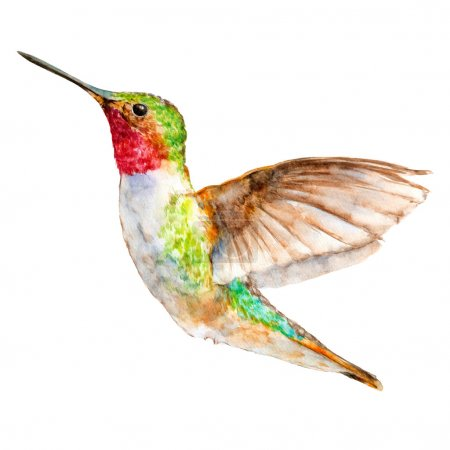 Hummingbird Flying, Watercolor Sketch, Vector Illustration.