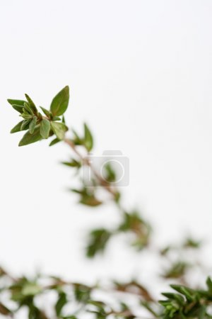 Photo for Still life close up detail of a thyme herb plant with small green leaves isolated on a white background. Cooking and dressing with fresh flavorful herbs. - Royalty Free Image