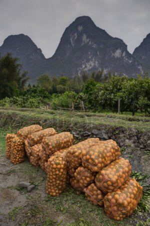 Harvest oranges packed into bags an orchard near the mountains.