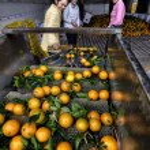 Постер, плакат: Lots of oranges on a conveyor belt women sorted harvest
