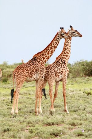 Photo pour Deux girafes sauvages adultes côte à côte sur le fond de la brousse africaine, parc national du Serengeti, Tamzanie . - image libre de droit