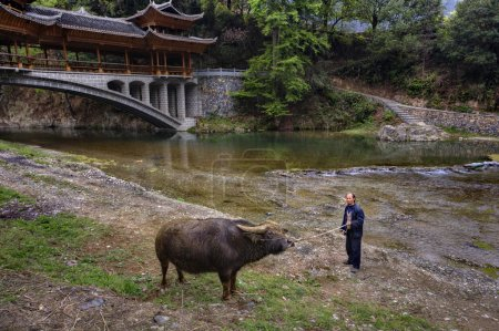 Asian farmer teaches bull by reins of power, about  Bridge.