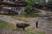 Asian farmer teaches bull by reins of power, about  Bridge.