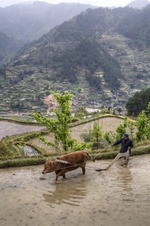 Chinese peasant cultivates land in flooded ricefield using red c