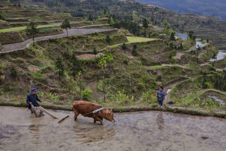 Chinese peasant plowing rice field, using power of red buffalo.