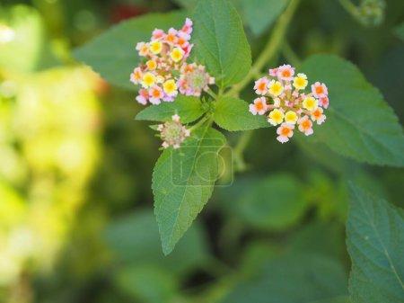 Photo pour Coloré rose jaune fleur de couleur Lantana camara, Verbenaceae arbuste semi pointu arbuste pointu bord de la feuille dent de scie floraison dans le jardin brouillé de l'espace de fond de la nature pour copieur - image libre de droit