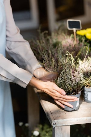 Photo for Cropped view of florist touching pot with heather in sunshine - Royalty Free Image
