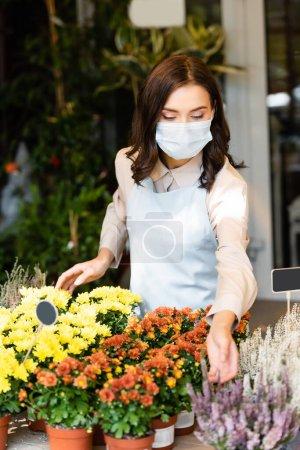 Photo pour Jeune fleuriste en masque médical prenant soin de chrysanthèmes en pot et bruyère sur le premier plan flou - image libre de droit