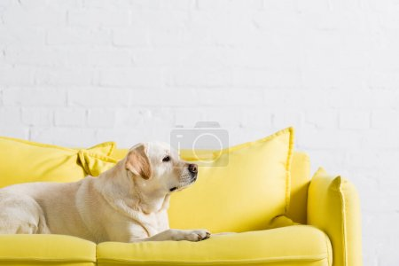 Photo for Side view of labrador dog lying on soft yellow sofa at home - Royalty Free Image