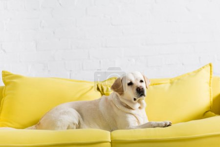 Photo for Labrador dog lying on soft yellow sofa near white brick wall - Royalty Free Image