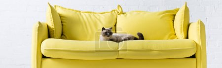 Photo for Siamese cat lying on yellow sofa with pillows at home, banner - Royalty Free Image