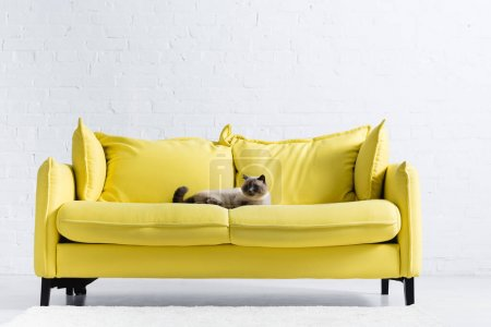 Siamese cat looking away, while lying on yellow sofa with pillows at home