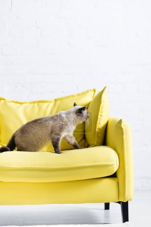 Photo for Fluffy siamese cat sitting on yellow couch with pillow at home - Royalty Free Image