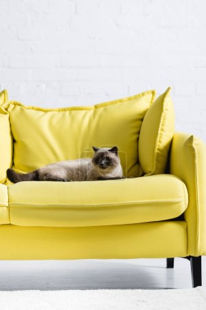 Photo for Fluffy siamese cat looking away, while lying on sofa at home - Royalty Free Image
