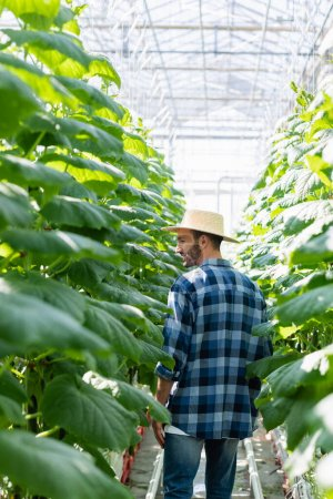 farmer in plaid shirt and straw hat near cucumber plants in greenhouse, blurred foreground