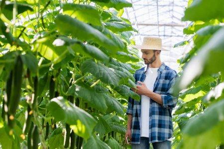 agricultor en camisa a cuadros que comprueba las plantas de pepino en invernadero, primer plano borroso