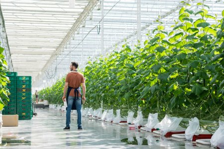 Photo for Back view of farmer with digital tablet standing near cucumber plants in greenhouse - Royalty Free Image