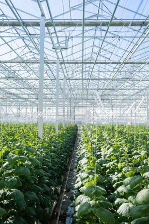 Photo pour Serre spacieuse avec plantation de concombres - image libre de droit