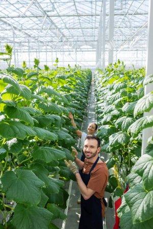 Photo pour Agriculteur souriant regardant la caméra tout en travaillant en serre avec un collègue afro-américain - image libre de droit