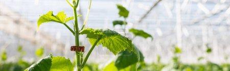 Photo pour Vue rapprochée de la plante de concombre vert en serre sur fond flou, bannière - image libre de droit