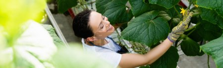 high angle view of african american farmer touching flower on cucumber plant, banner