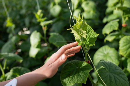 partial view of woman touching green cucumber plant