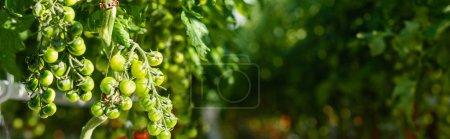 ramas de tomates cherry verdes sobre fondo borroso, bandera