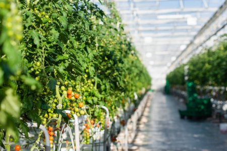 selective focus of plants with cherry tomatoes in greenhouse