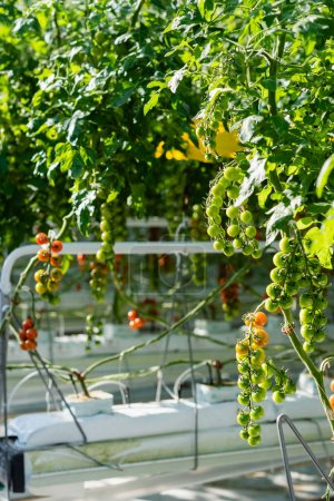 green cherry tomatoes growing in glasshouse